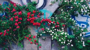 Red and white roses climbing up a graffitied concrete wall